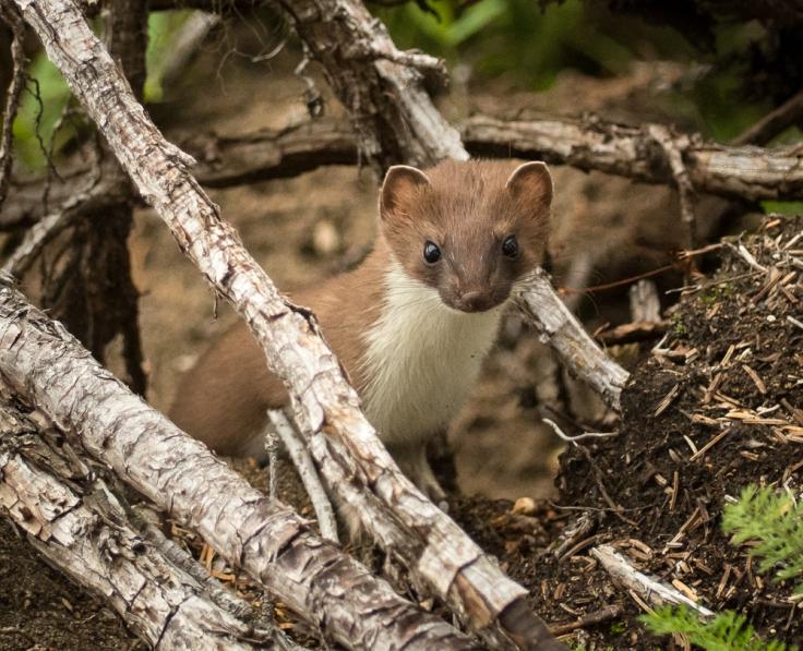 spirit-weasel