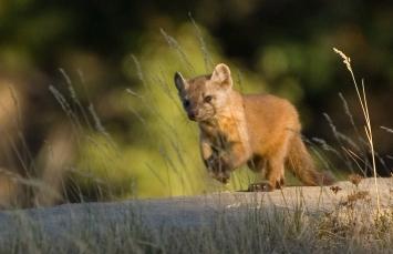 weasels-2