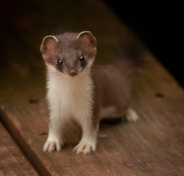 weasels-4