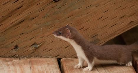 weasels-5
