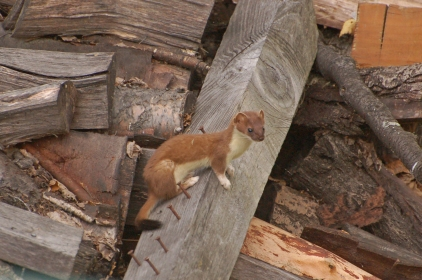 weasels-6
