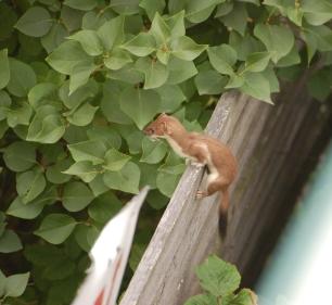 weasels-7