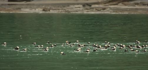 Flotilla of Puffins