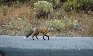 fox-1-2