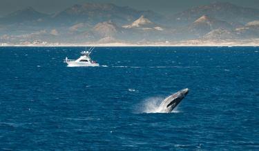 baja4-whale