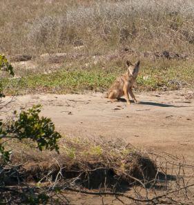 baja5-coyote