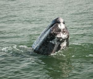 baja6-grey-whales-2