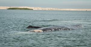 baja6-grey-whales-5