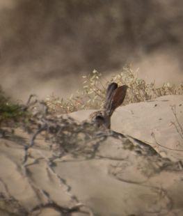 Elusive black-tailed jackrabbit