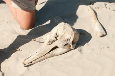 baja7-doplhin-skulls