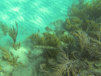 Camouflaged Barracuda