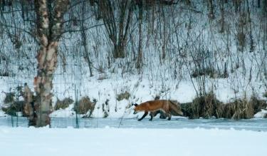 fox-on-pond-10