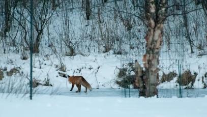 fox-on-pond-13-edit