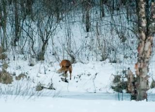 fox-on-pond-14-edit-edit-2