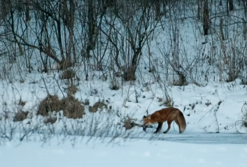 fox-on-pond-15-edit-edit