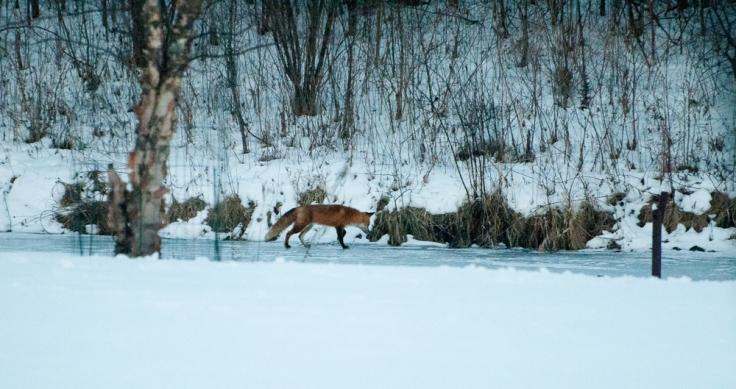 fox-on-pond-20