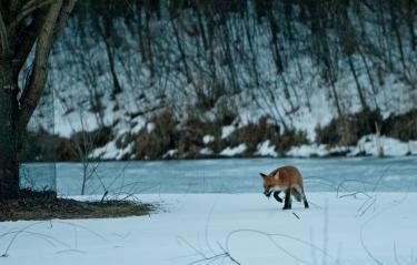 fox-on-pond-23-edit