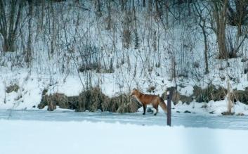 fox-on-pond-6