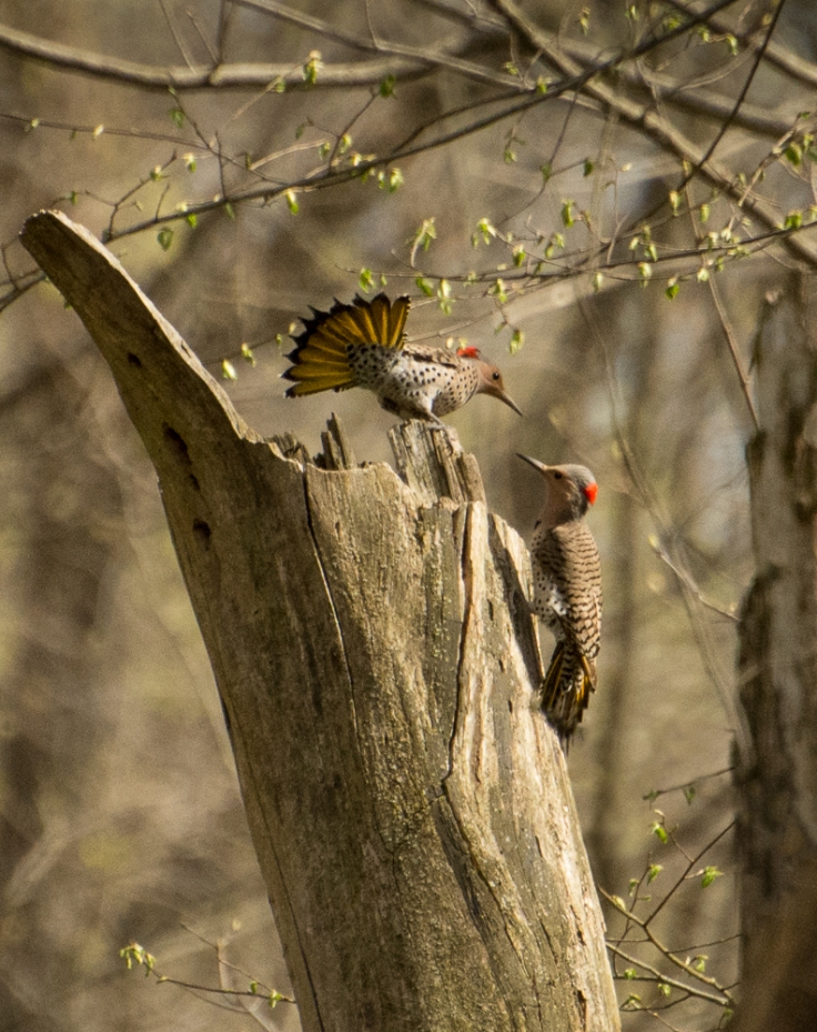 Courting Flickers