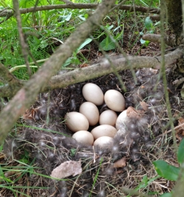 duck nest eggs