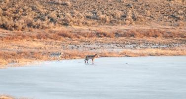 Prospect Peak wolves: Radio-collared alpha female on the left