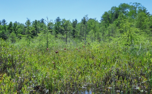 Nodding pitcher plant blooms in the bog