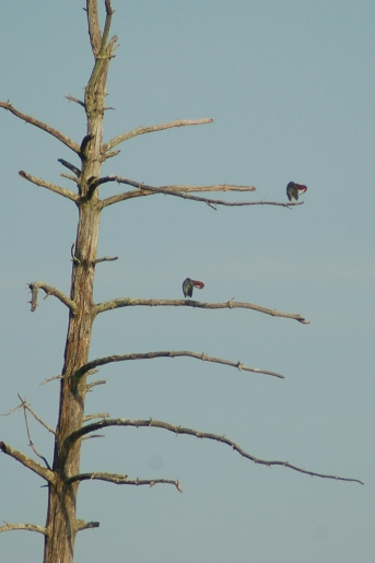 Green Heron pair preening