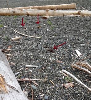 Popular spot for bears, too (arrows to bear scat)