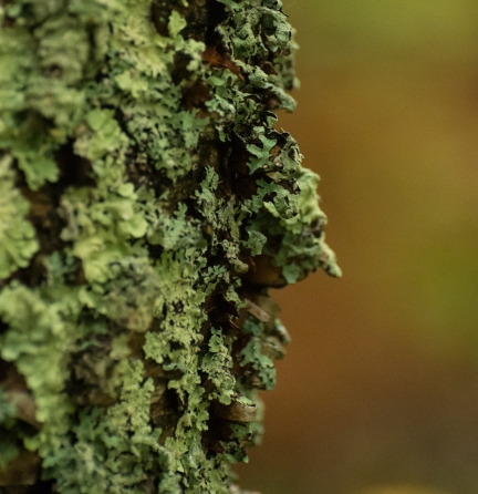 Old man lichen