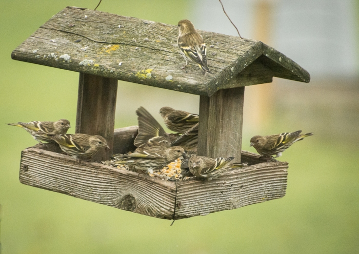 Flock of Pine Siskins