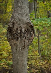 Orangutan tree