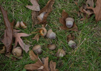 Acorns in the lawn
