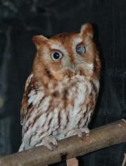 Willowbrook Screech Owl