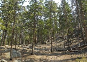 Trail through the pines