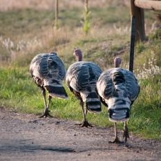 Turkey parade