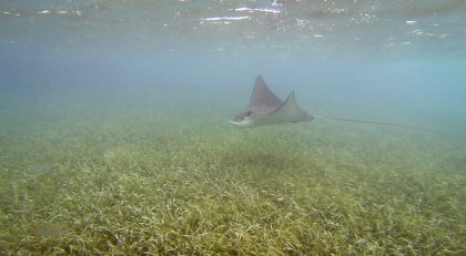 Giant Eagle Ray