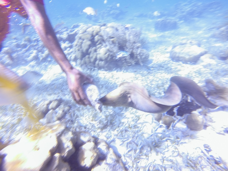 Eel eating out of Conch Shell