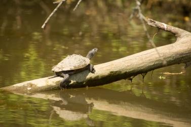Baskaing Turtle