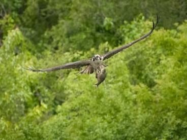 Osprey Catch