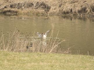Wood ducks 4