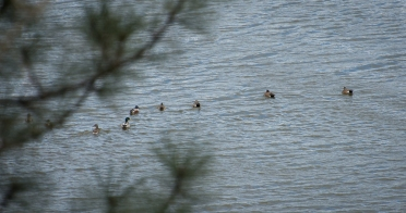 Mallards, Northern Shovelers and Wigeons