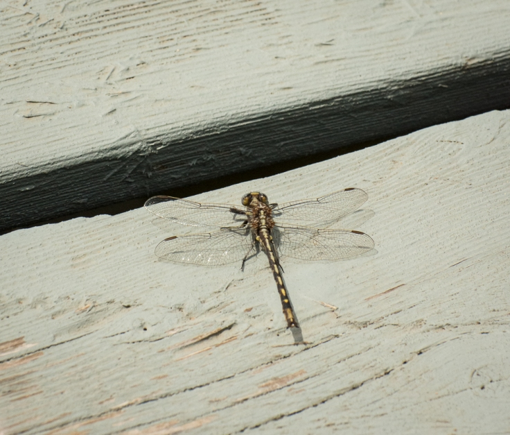 Common Darter Dragonfly (aptly named)