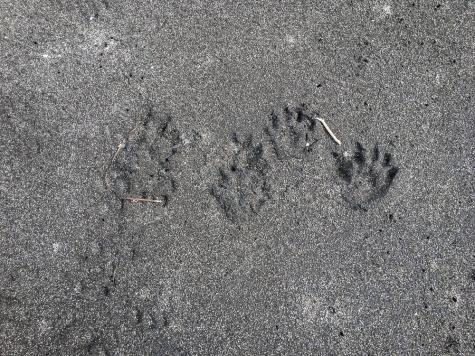 Otter prints