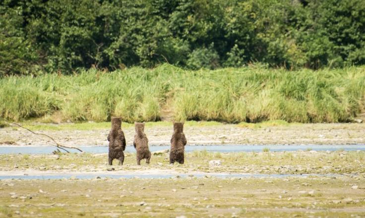 Wailing cubs (2)