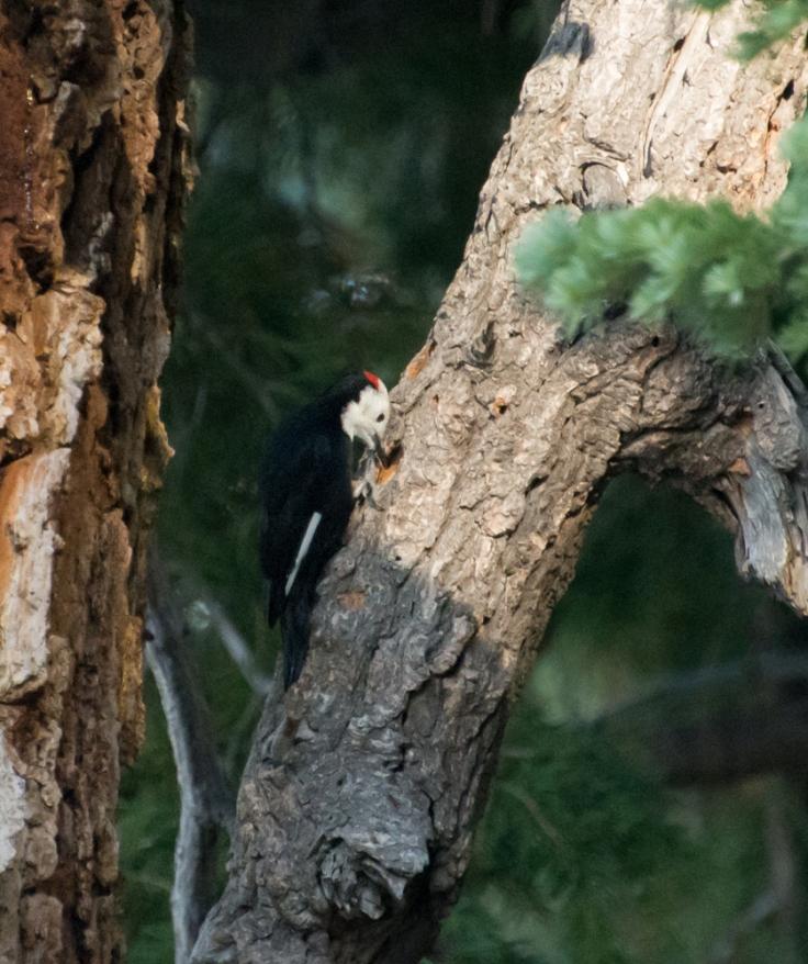 Woodpecker worker on a hole