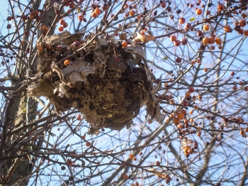 Old Wasp Nest