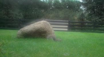Grey Squirrel burying peanuts