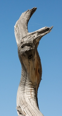 A Face in the Old Pine