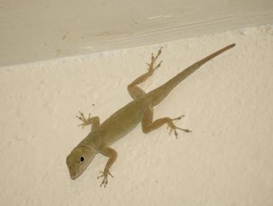Bedroom Lizard