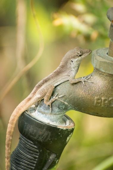 Faucet Lizard